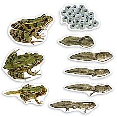 Цикъл на живот на жабата - магнитно пособие